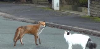 Fox Approaches House Cat