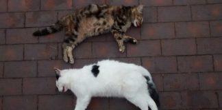 UK Cats Dead After Heatwave