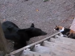 Fearless Cat Gets Confronted By A Wild Bear