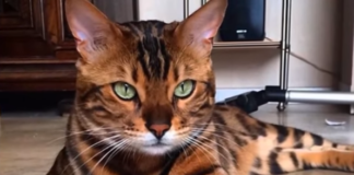 Meet Thor - Oh He also Looks Like a Bengal Tiger